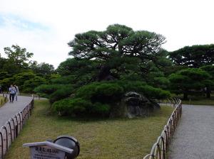 Turtle pine, grown on a mound built from 100 stones