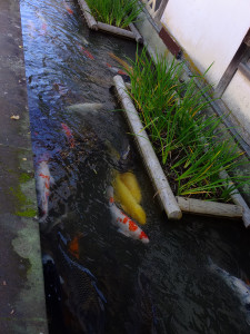 Koi fishes swims in the waterways