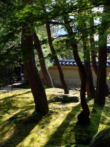 Pines in the moss garden
